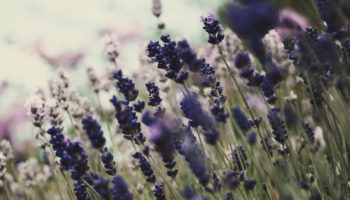 Lavender Flower Wallpapers Full HD Free Download